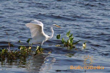 bolivia fauna pantanal great egret
