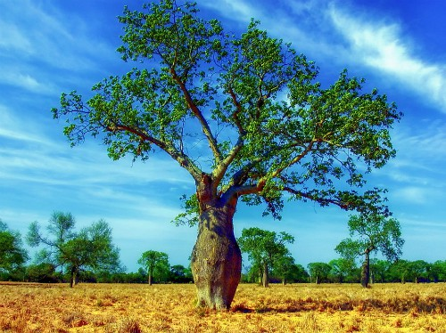 Bolivian Myths and Legends - The Toborochi Tree