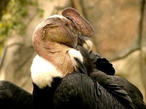 bolivia national bird andean condor
