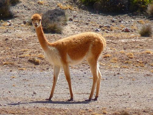 Bolivian Wildlife - Vicuña