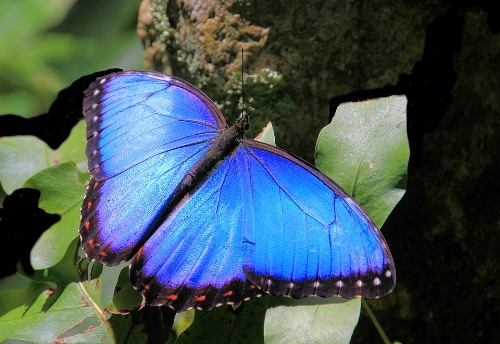 Bolivian Wildlife - Blue Morpho Butterfly