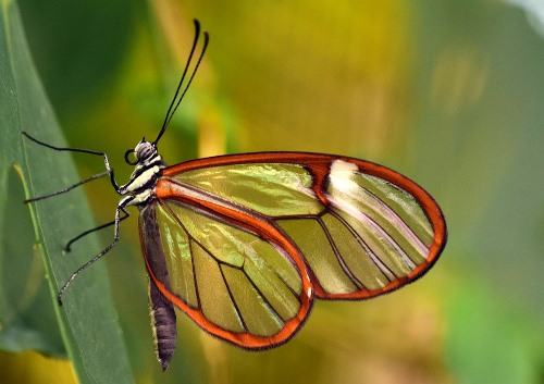 Bolivian Wildlife - Transparent Glass Wing Butterfly