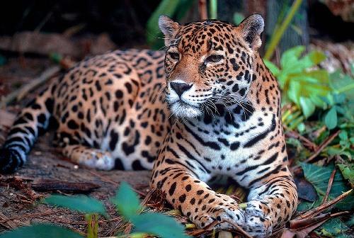 Bolivian Wildlife - Jaguar