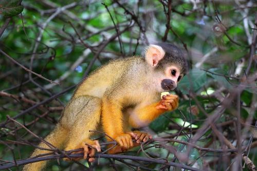 Bolivian Wildlife - Monkey
