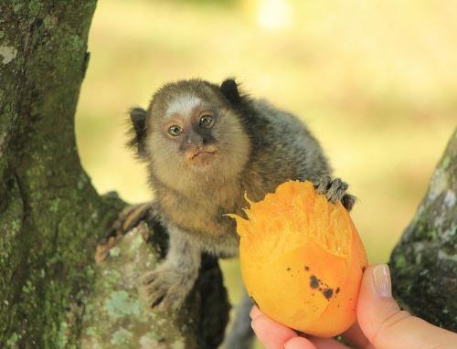Bolivian Wildlife - Pygmy Marmoset