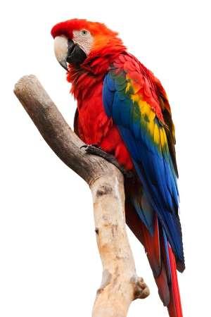 Bolivian Wildlife - Scarlet Macaw