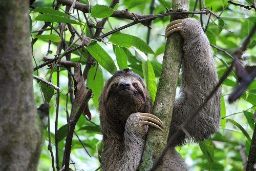 Bolivian Wildlife - Sloth