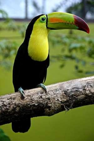 Bolivian Wildlife - Toucan