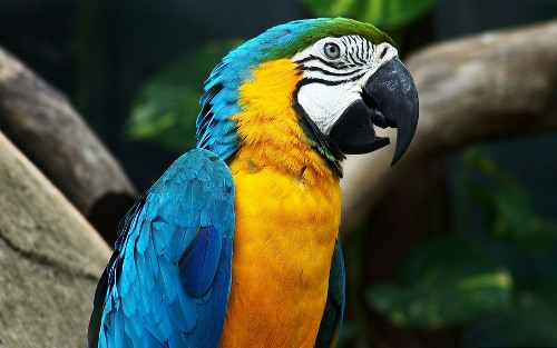 Bolivian Wildlife - Yellow Macaw