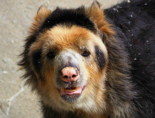bolivia wildlife spectacled bear