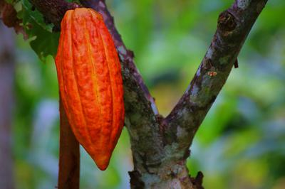 Cacao fruit growing on a tree