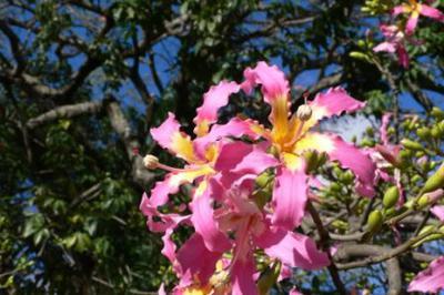 Flower of the toborochi tree, typical of Santa Cruz
