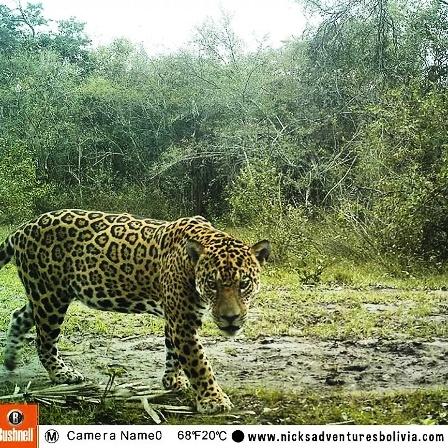 jaguar tours in bolivia wildlife observation tours with nicks adventures bolivia. Black Bedroom Furniture Sets. Home Design Ideas