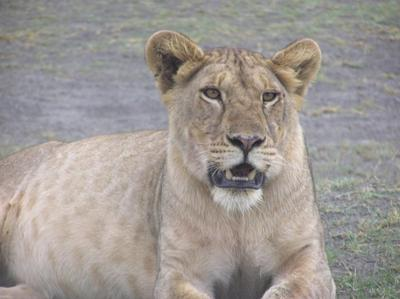 Lion of Serengeti National Park