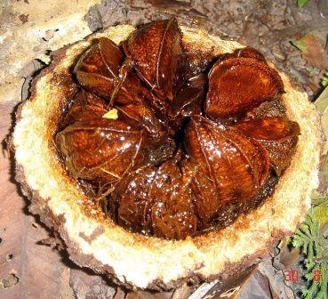 Brazil nut pod