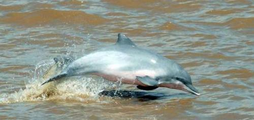Bolivian River Dolphins