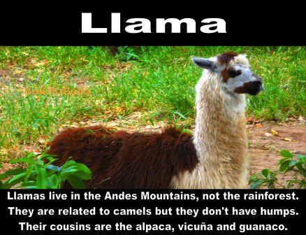 Bolivian Wildlife - Llama