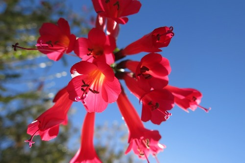 Kantuta - one of Bolivia's two national flowers.