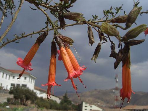 Bolivian Legends - Bolivian National Emblems - Bolivian National Flower - Kantuta