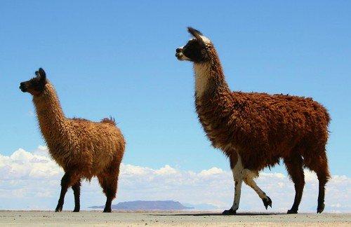 Bolivian National Emblems - Bolivian National Animal - Llama