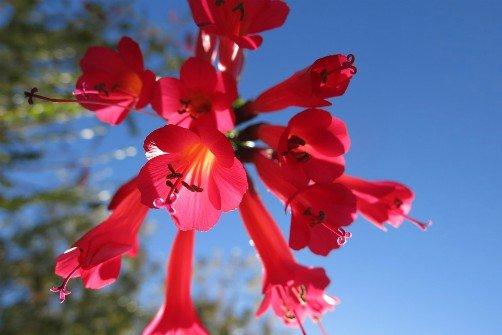 Bolivian National Emblems - National Flower - Kantuta