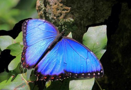 Bolivian Wildlife - Blue Morpho Butterfly