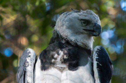 Bolivian Wildlife - Harpie Eagle