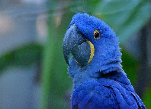 Bolivian Wildlife - Hyacinth Macaw