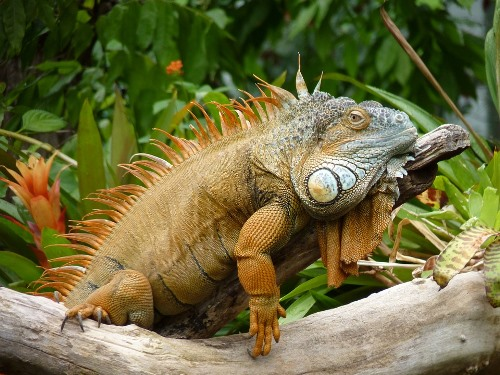 Bolivian Wildlife - Iguana