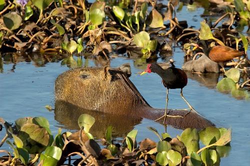 Ecotourism in Bolivia: Capybara - Pantanal