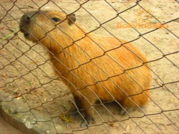 capybara (carpincho)