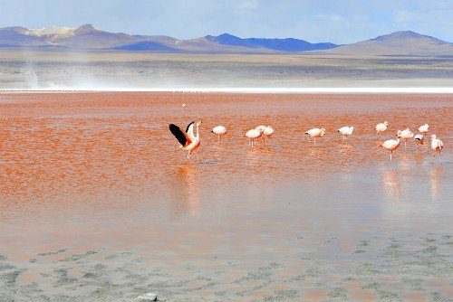 Flamingos Laguna Colorada Salar de Uyuni Bolivia