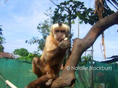 Capucchin monkey at Inti Wara Yassi near Cochabamba Bolivia