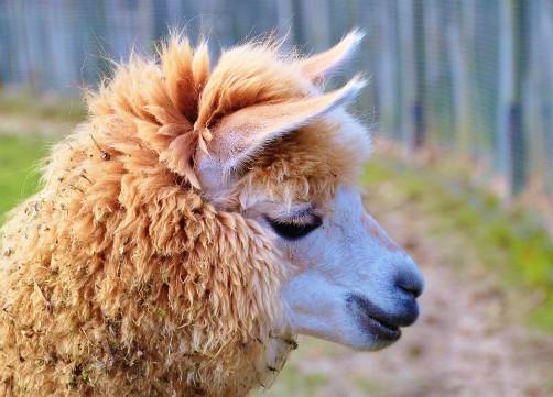 bolivia wildlife alpaca camelid