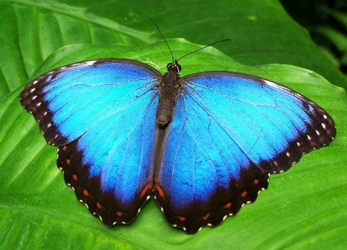 bolivia wildlife blue morpho butterfly