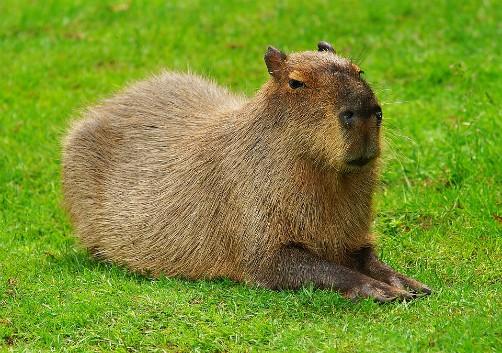 bolivia wildlife capybara