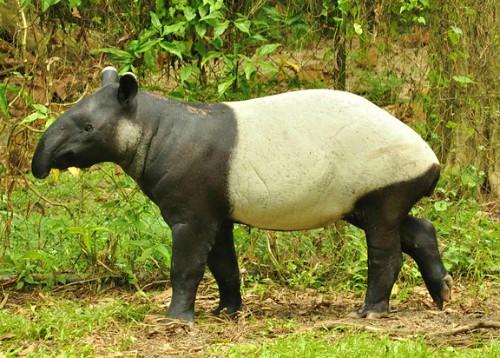 bolivia wildlife tapir