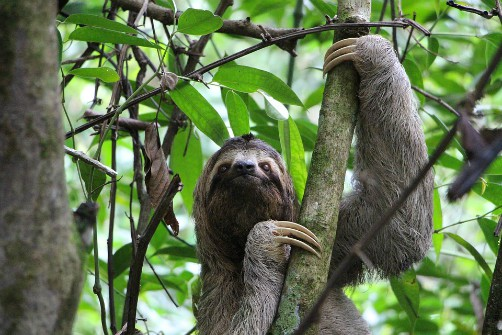 bolivia wildlife sloth