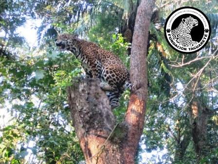 Fundación Yaguareté: Jaguar Conservation in Bolivia