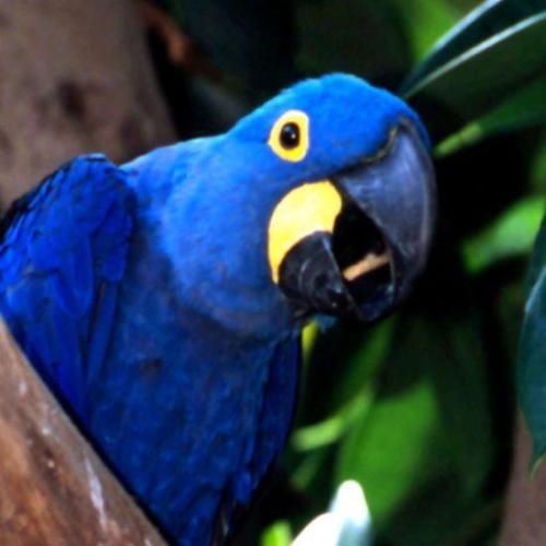 The Blue Paraba of Bolivia